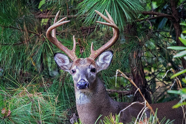 Photograph - Whitetail Deer by Bob Decker