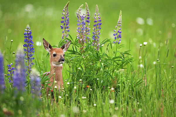 Environmental Issues Photograph - Whitetail Deer Fawn In Spring Flowers by Jimkruger