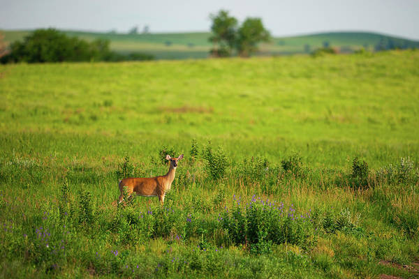 Photograph - Whitetail Doe In Prairie Clover II by Jeff Phillippi