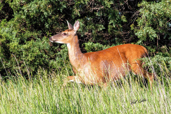 Wall Art - Photograph - Whitetail Doe Morning Glow by Bill Kesler