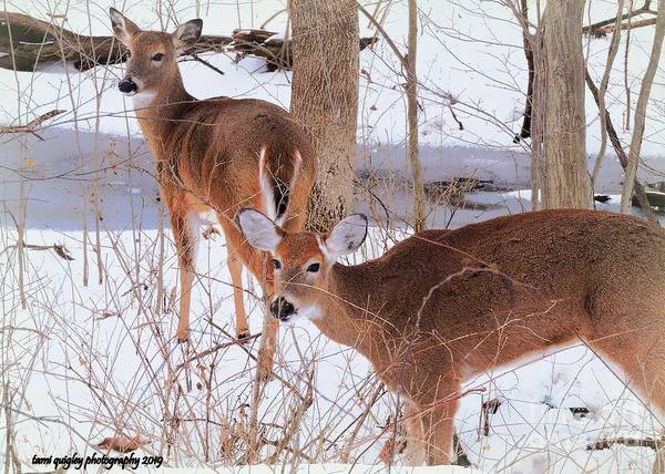 Photograph - Whitetail Winterlude by Tami Quigley