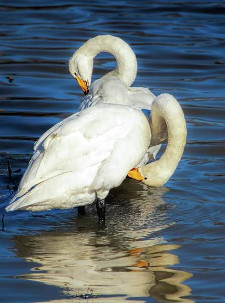 Photograph - Whooper by Rose-Marie karlsen