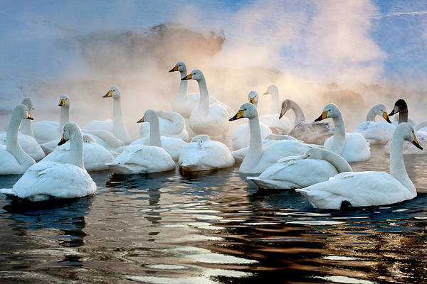 Vertebrate Photograph - Whooper Swans On The Surface Of A Lake by Mint Images - Art Wolfe