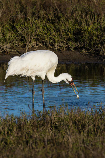 Whooping Cranes Photograph - Whooping Crane Feeding On Blue Crabs by Larry Ditto