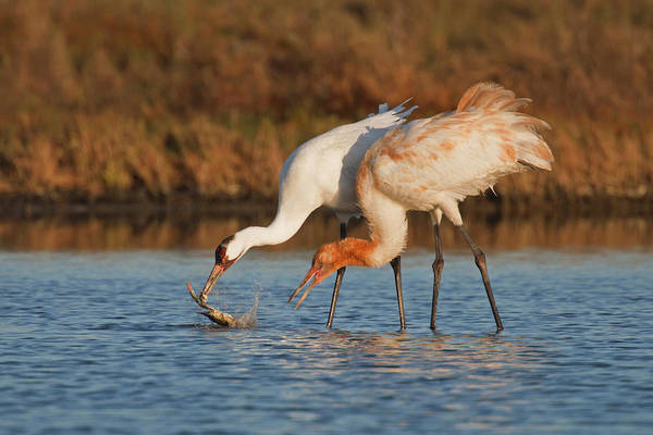 National Wildlife Refuge Wall Art - Photograph - Whooping Cranes Grus Americana by Danita Delimont
