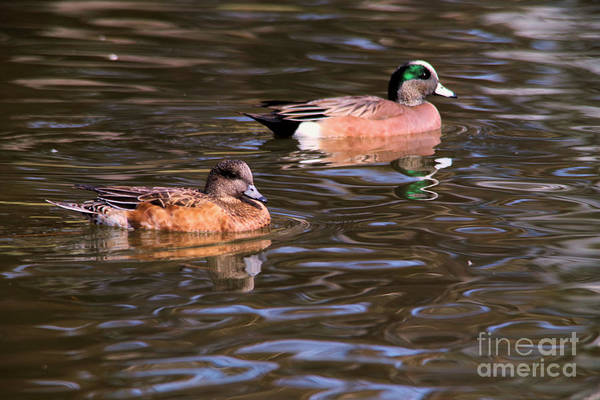 Wall Art - Photograph - Wigeon Pair by Jeff Swan
