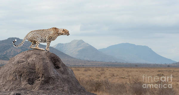 Wall Art - Photograph - Wild African Cheetah, Beautiful Mammal by Volodymyr Burdiak