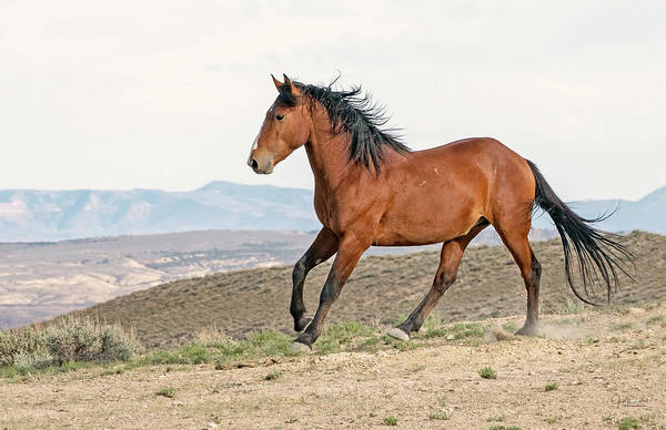 Photograph - Wild And Free On The Prairie -- Wild Mustang Horse by Judi Dressler