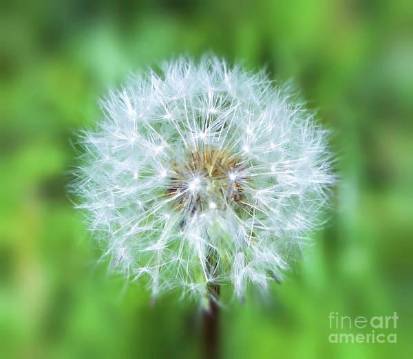 Photograph - Wild And Wonderful - The Dandelion by Kerri Farley