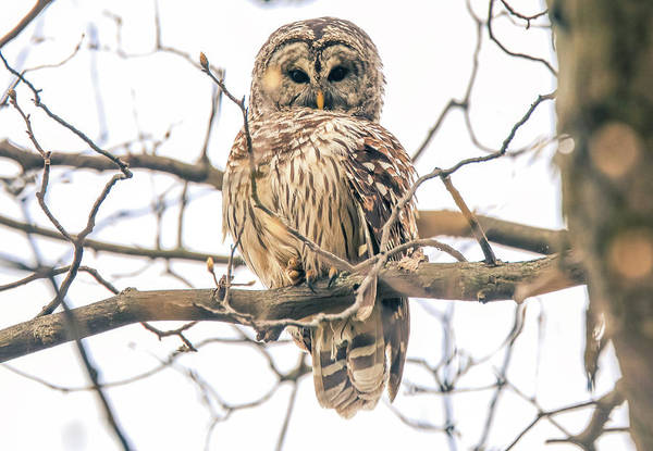 Photograph - Wild Barred Owl by Dan Sproul