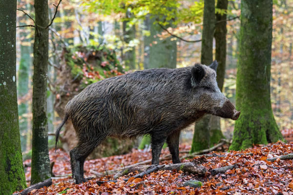 Photograph - Wild Boar In Autumn by Arterra Picture Library