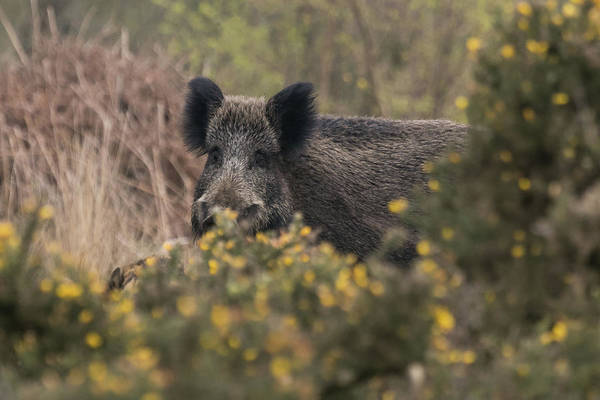 Photograph - Wild Boar Sow by Wendy Cooper