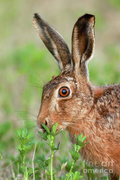 Wall Art - Photograph - Wild Brown Hare Close Up Eating by Simon Bratt Photography LRPS