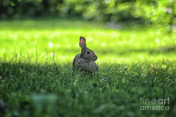 Photograph - Wild Bunny Rabbit by Karen Adams