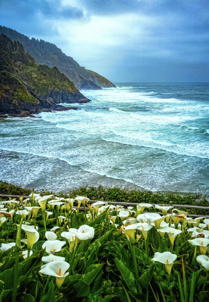 Photograph - Wild Calla Lilies At Heceta Head by Carolyn Derstine
