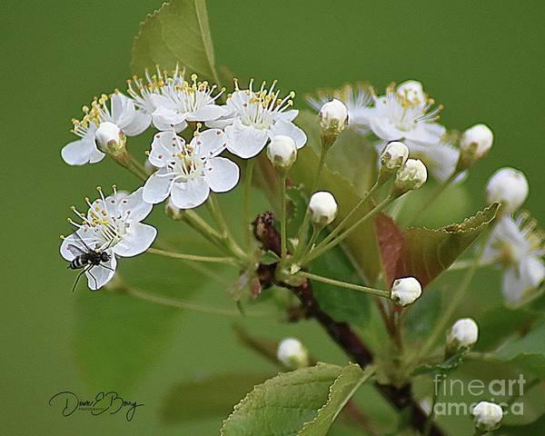 Wall Art - Photograph - Wild Cherry Blossom Bug by Diane E Berry