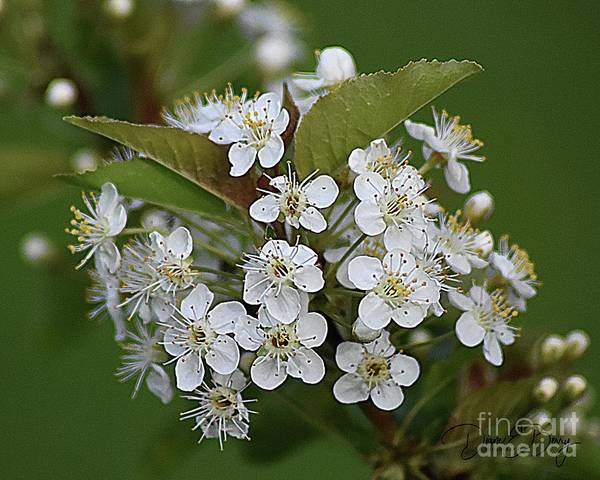 Wall Art - Photograph - Wild Cherry Blossoms by Diane E Berry