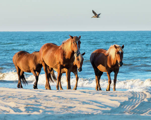 Photograph - Wild Colonial Spanish Mustangs Of Carova by Mike Koenig