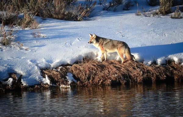 Photograph - Wild Coyote by Karen Wiles