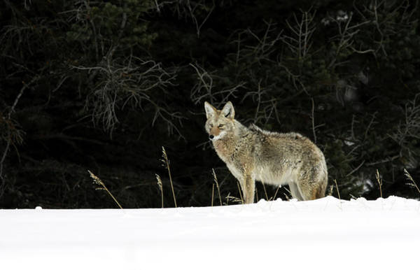Photograph - Wild Coyote by Ronnie and Frances Howard
