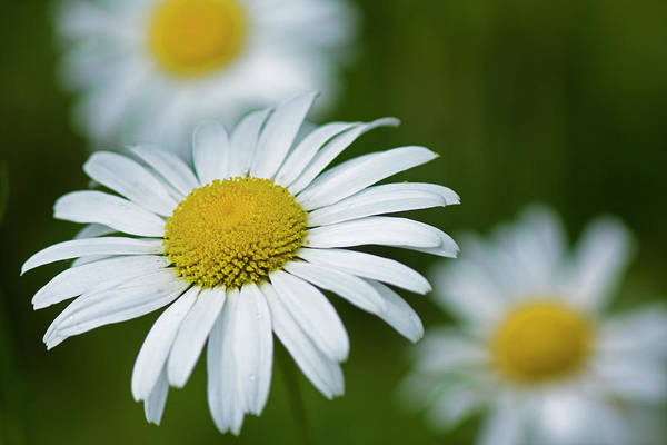 Photograph - Wild Daisies by Bob Decker