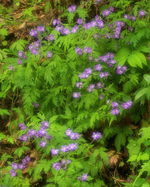 Southern Usa Photograph - Wild Geranium, Geranium Maculatum In by Jerry Whaley