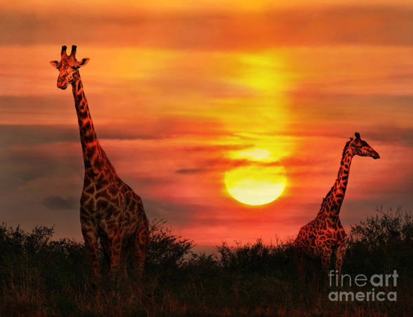 Wall Art - Photograph - Wild Giraffes In The Savannah At Sunset by Byelikova Oksana