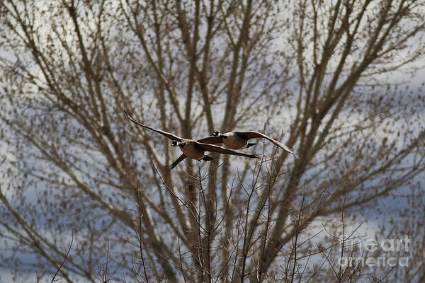 Photograph - Wild Goose Together by Robert WK Clark