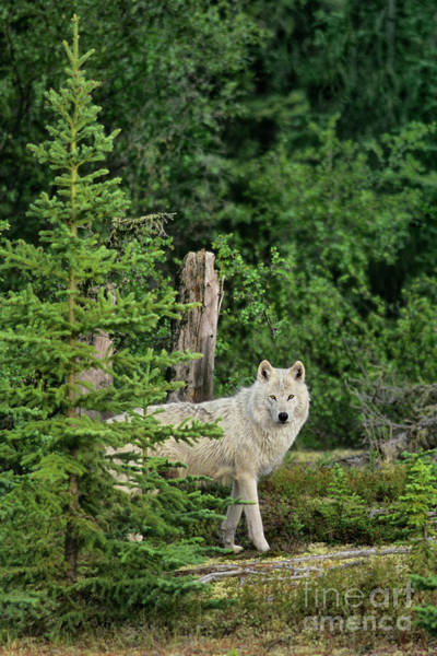 Photograph - Wild Gray Wolf In Boreal Forest Northwest Territories Canada by Dave Welling