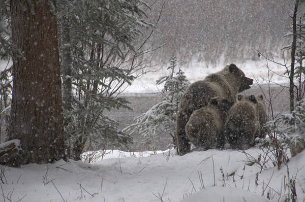Wall Art - Photograph - Wild Grizzly Bear Sow And Cubs by Stephen J. Krasemann
