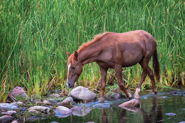 Photograph - Wild Horse Salt River by Dave Dilli