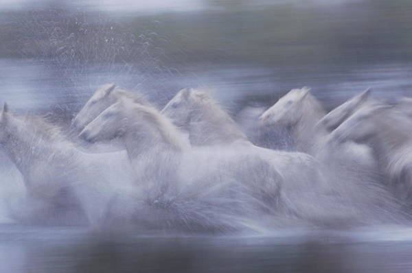 Photograph - Wild Horses Equus Caballus France by Art Wolfe
