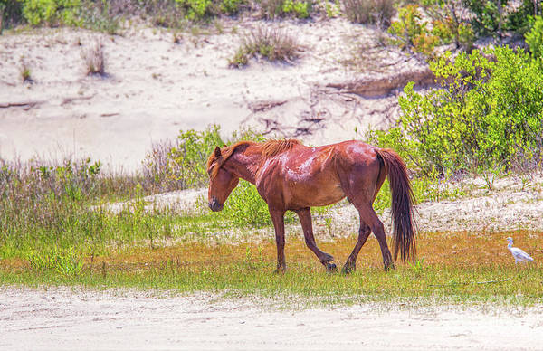 Wall Art - Photograph - Wild Horses Outer Banks Four by Randy Steele
