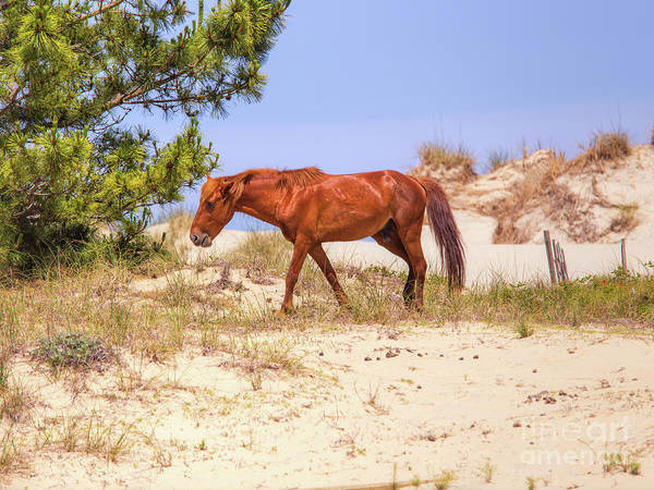 Wall Art - Digital Art - Wild Horses Outer Banks One by Randy Steele