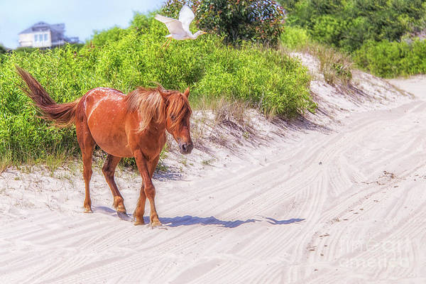 Wall Art - Photograph - Wild Horses Outer Banks Two by Randy Steele