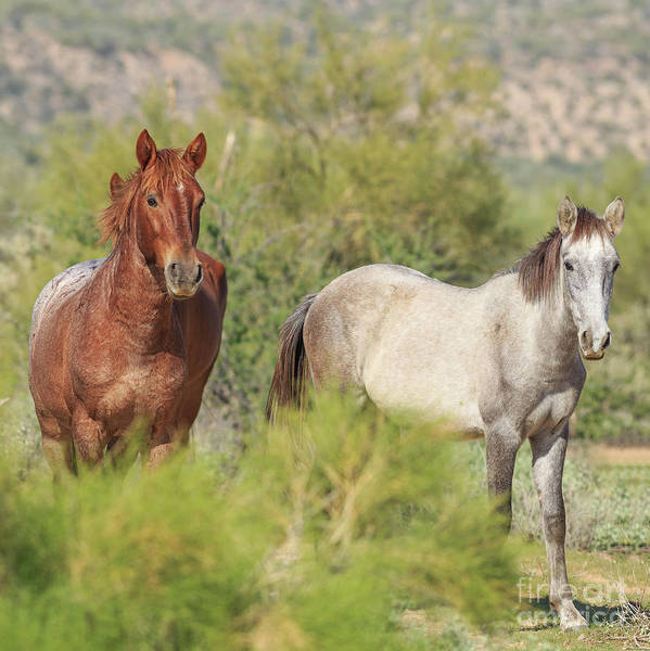 Wall Art - Photograph - Wild Horses Tonto National Forest Arizona II by Edward Fielding