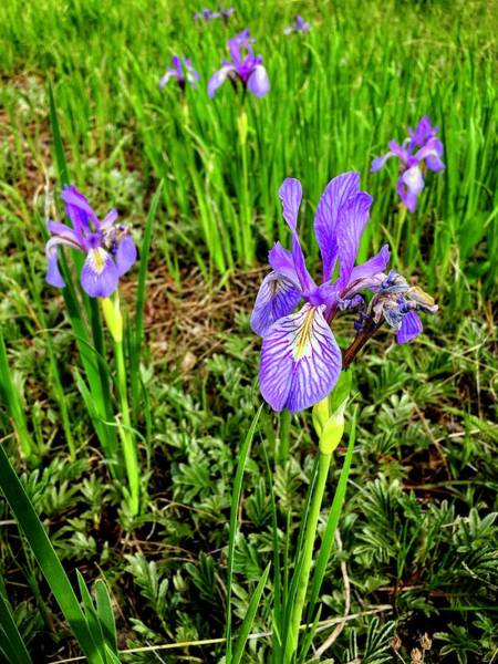 Photograph - Wild Irises 3 by Dan Miller
