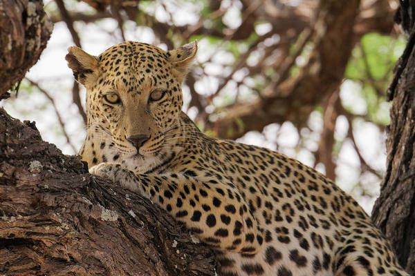 Wall Art - Photograph - Wild Leopard Resting In Tree In Eastern by Brenda Tharp