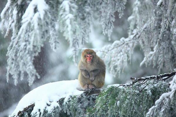 Snow Monkey Photograph - Wild Life At Murree by Nadeem Khawar