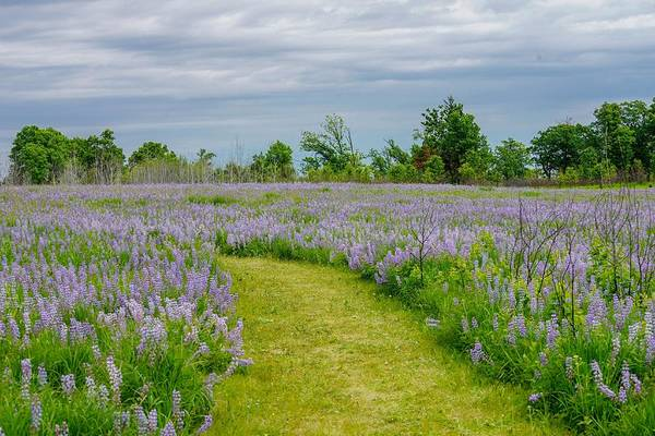 Photograph - Wild Lupines Trail by Susan Rydberg