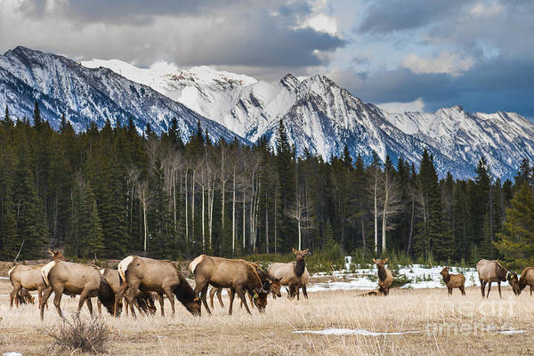 Wall Art - Photograph - Wild Mountain Elk, Banff National Park by Bgsmith