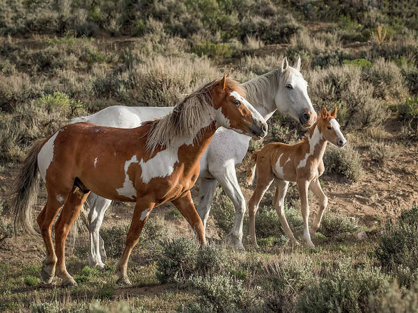 Wall Art - Photograph - Wild Mustang Family by Dawn Key