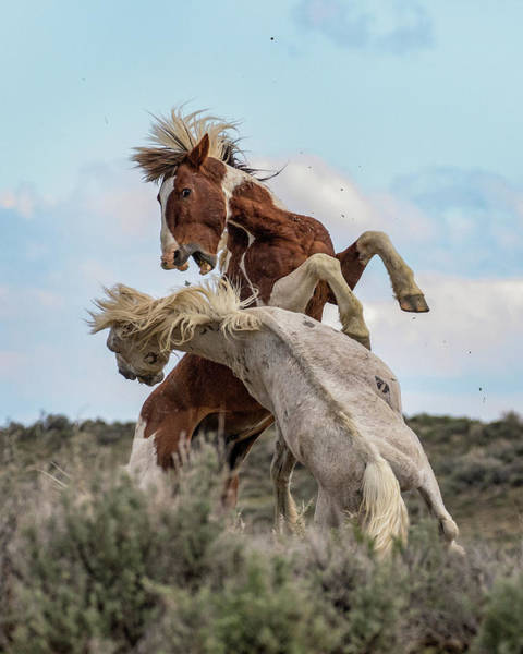 Wall Art - Photograph - Wild Mustang Stallions Battle by Dawn Key