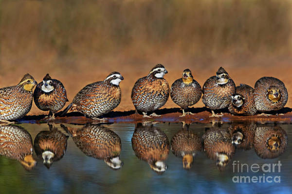 Photograph - Wild Northern Bobwhite Colinas Virginianus Texas by Dave Welling