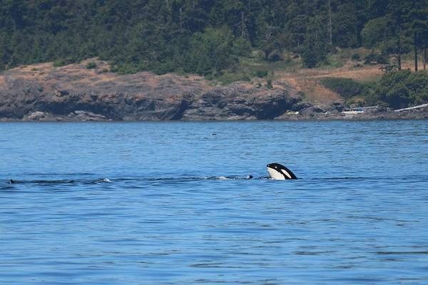 Photograph - Wild Orca - 4  by Christy Pooschke