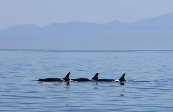 Photograph - Wild Orcas - 3  by Christy Pooschke
