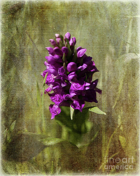 Digital Art - Wild Orchid by Liz Alderdice