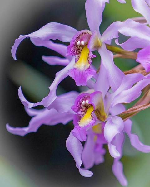 Photograph - Wild Orchids by Susan Rydberg
