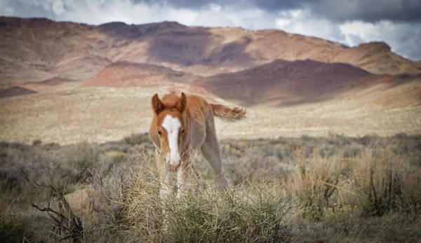 Photograph - Wild Paint Foal Colt by Waterdancer