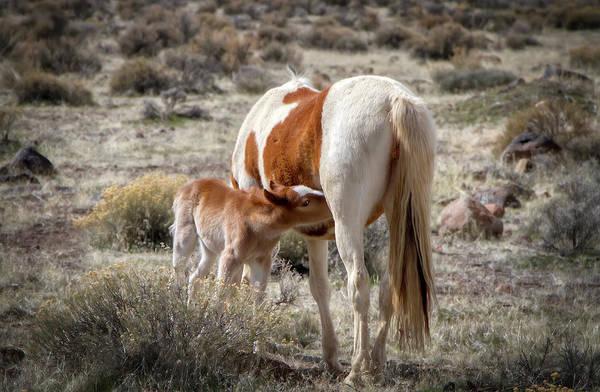Photograph - Wild Paint Foal Nursing by Waterdancer